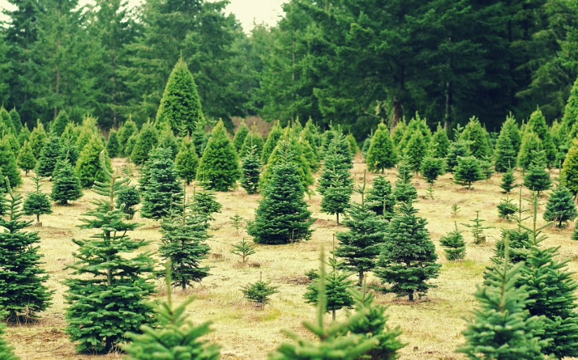 Environmental Assessment of Natural vs. Artificial Christmas Trees